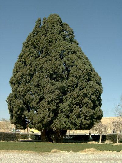 Abarkouh-Cedar